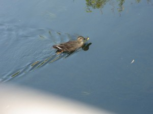 善福寺川の鴨