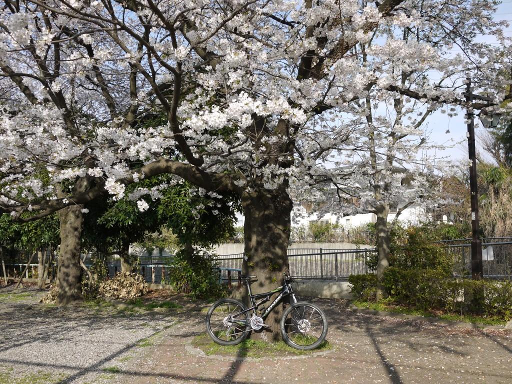 桜もまだまだ大丈夫