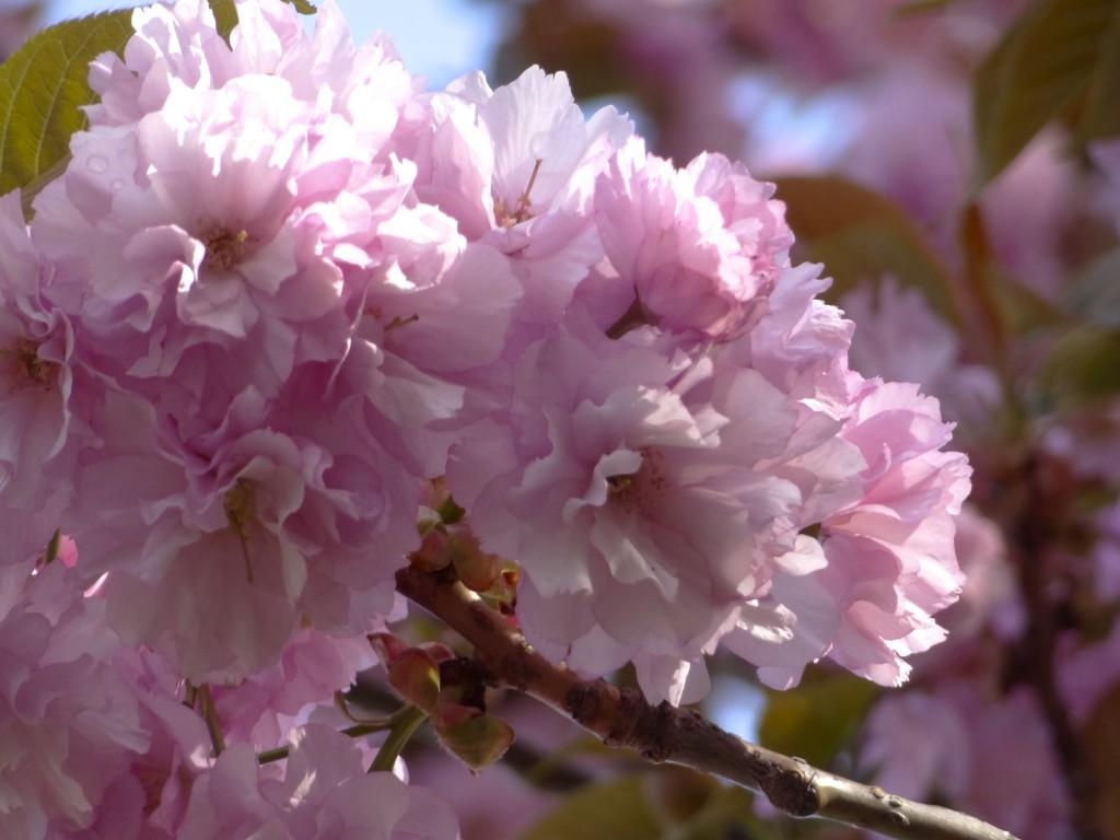 染井吉野より濃いピンクもなかなか