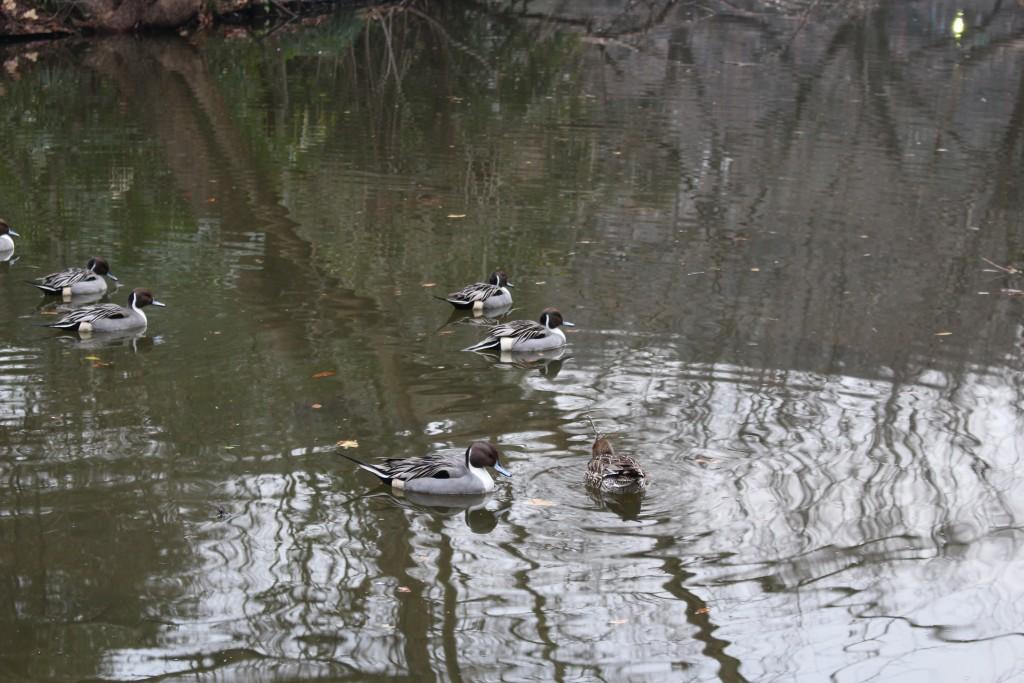 鴨写真はほぼ全滅