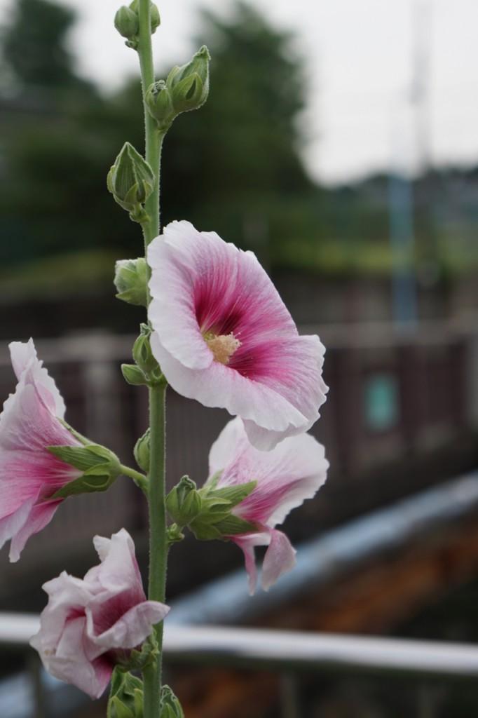 先週も気になっていた川縁に植えられた花
