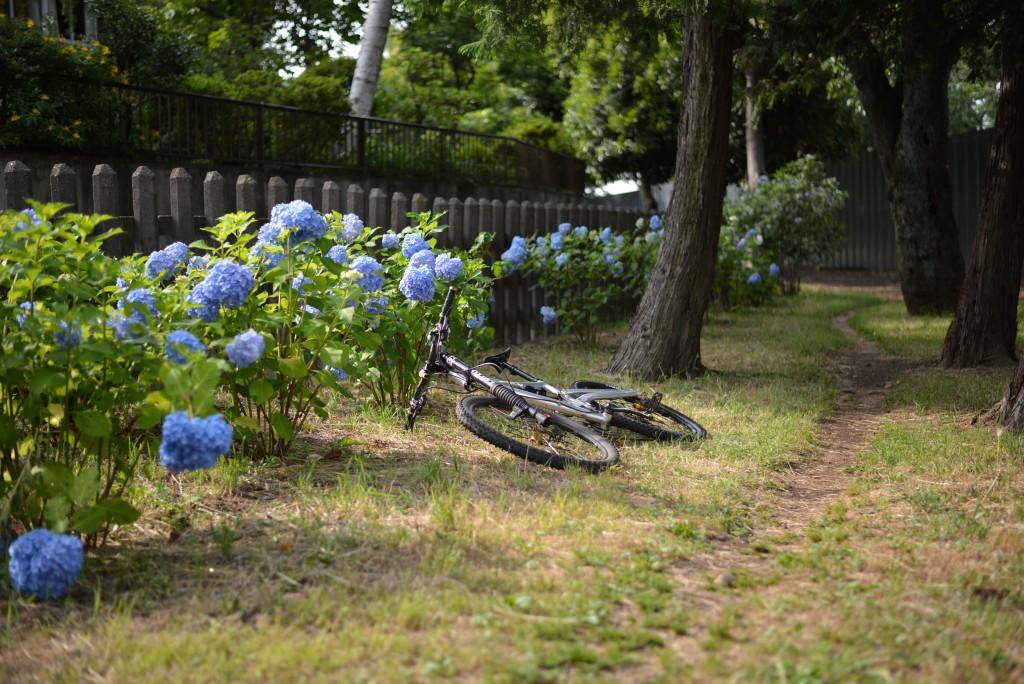 アジサイが咲き誇る公園