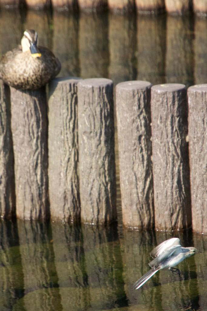小鳥の飛翔を見守るカルガモ
