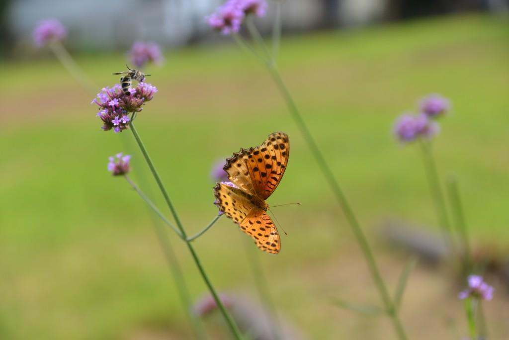 チョウもハチ(?)もお花を共有