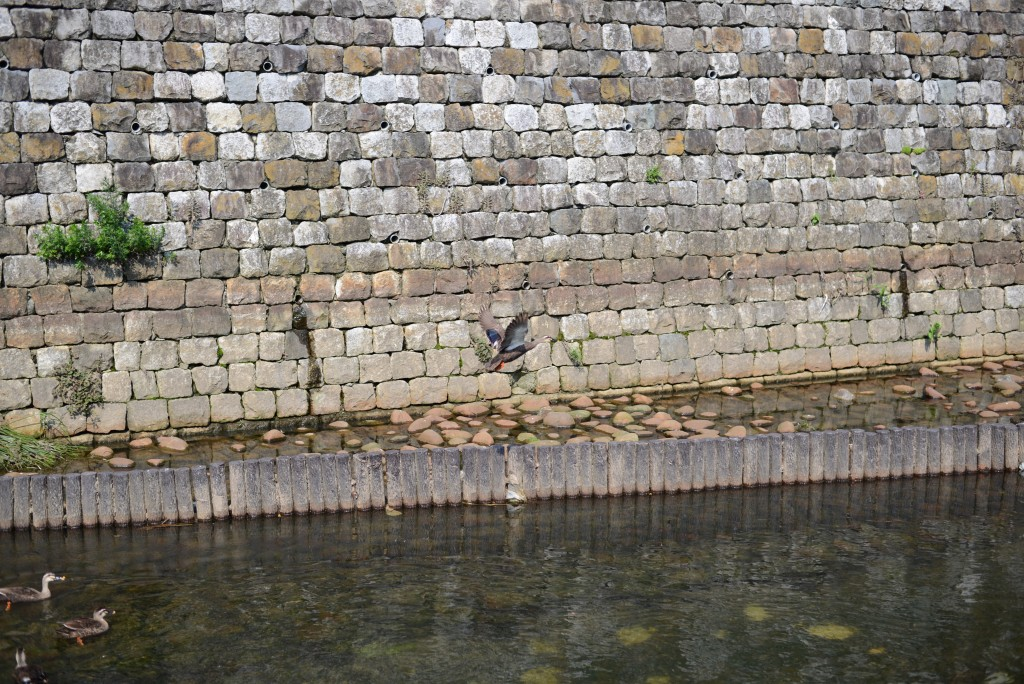 今日は景色の一部として鴨さんたちを撮ってみたのですが…