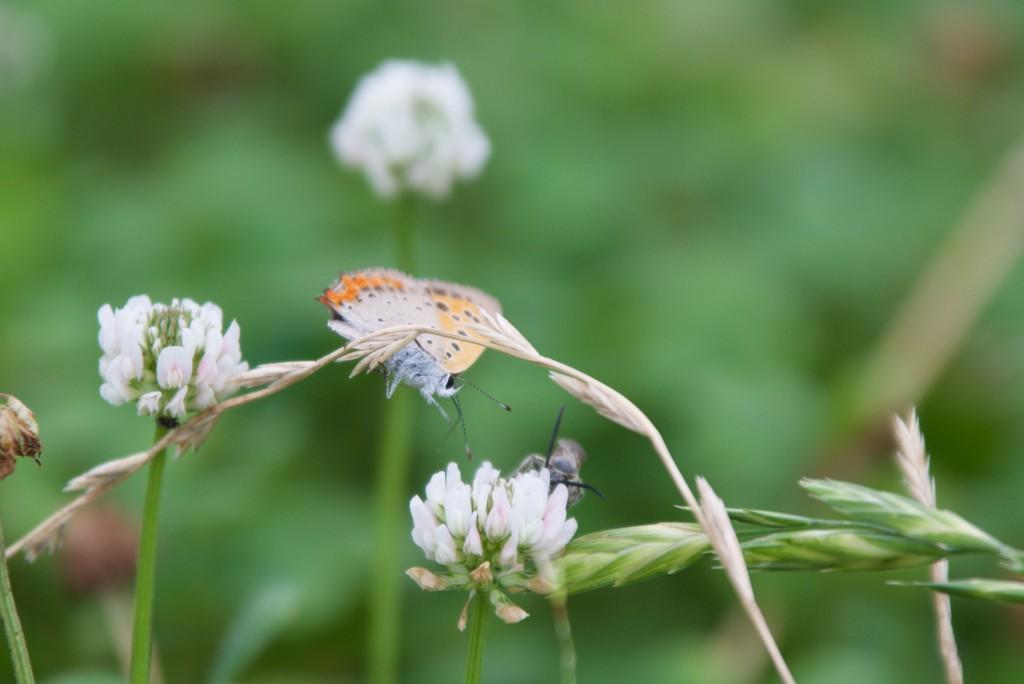 蝶がハチ(?)に挑む瞬間