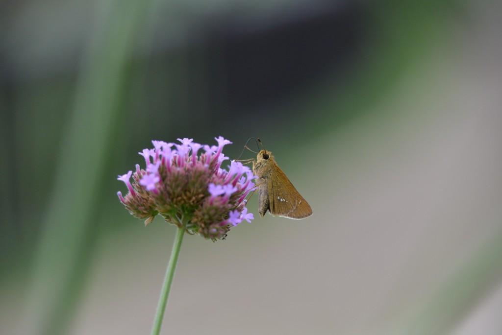 今日はこの蝶が多数発生(私の撮影)