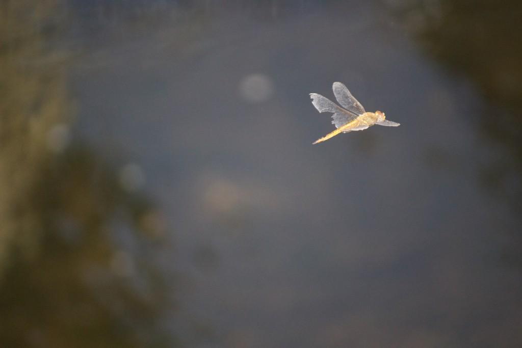川面の上を飛ぶこれは?