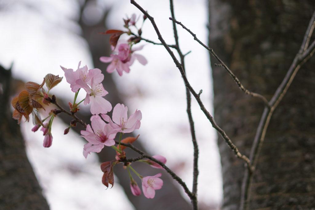 桜の種類がよく分からない
