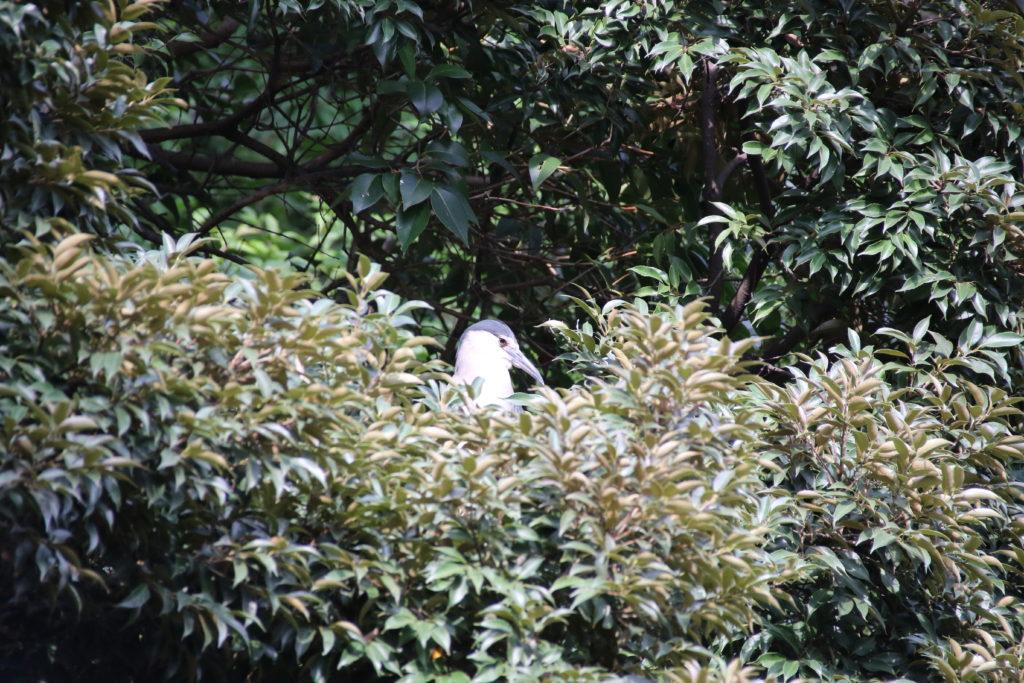 隠れるゴイサギ
