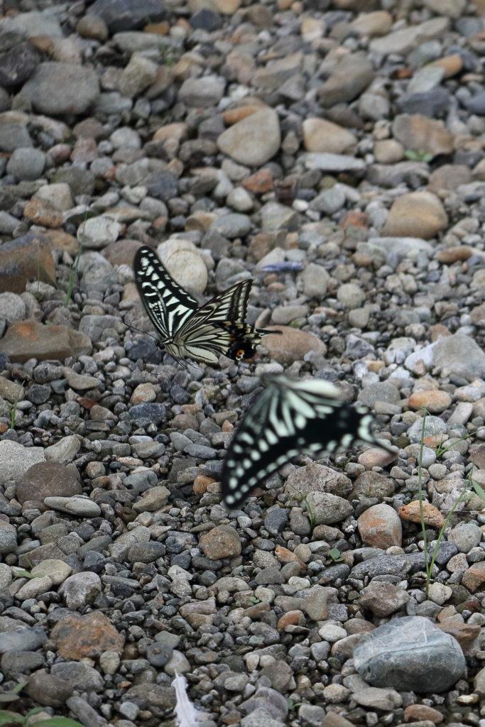 なかよし蝶々