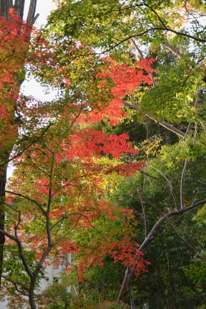 玉川上水沿いの紅葉