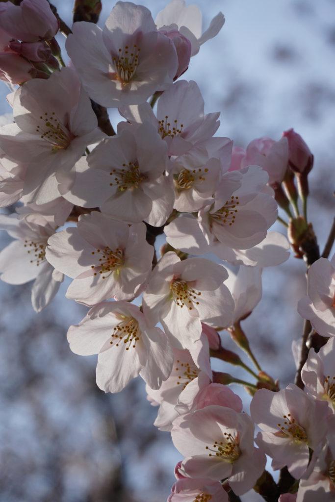 桜もきれいでしたが