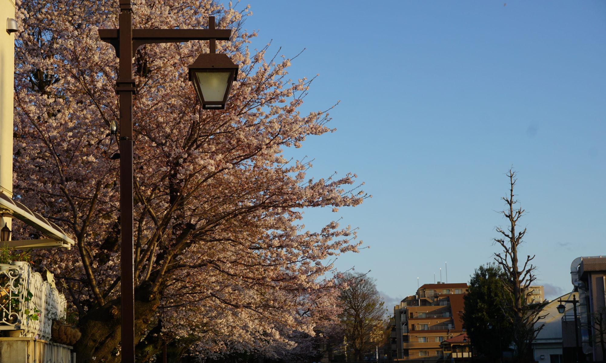 桜と街灯と