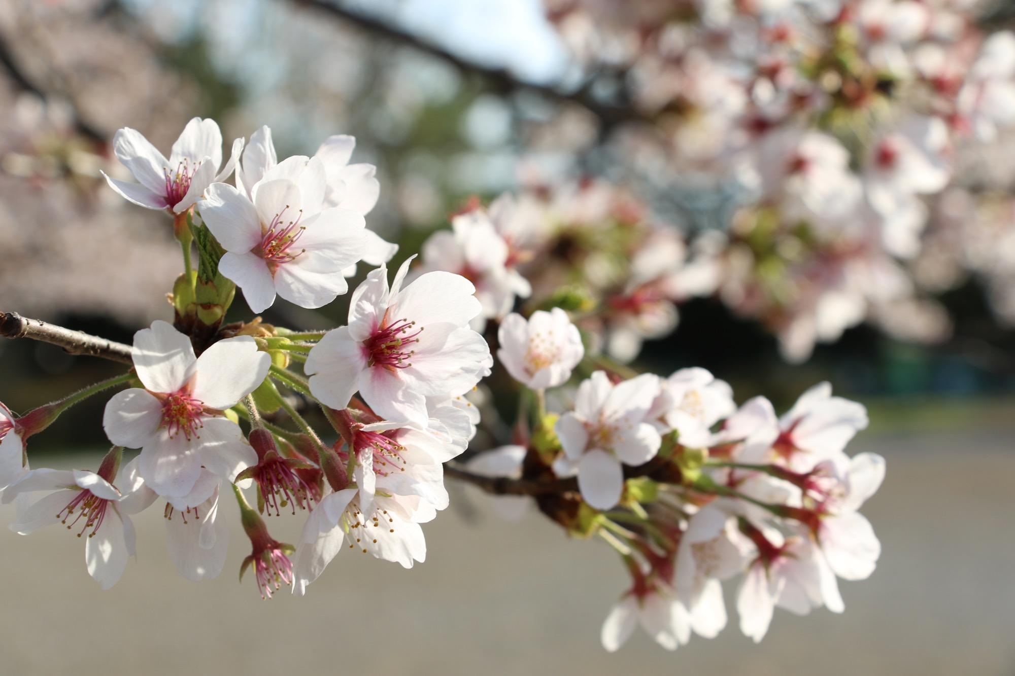 桜もだいぶ散ってきました