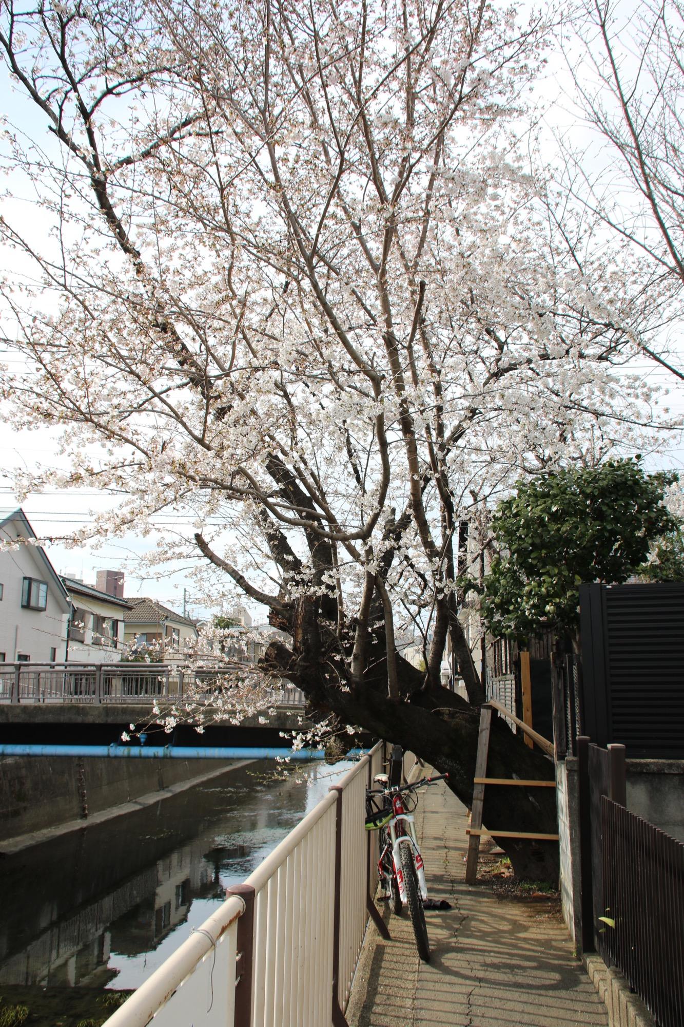 桜カービン