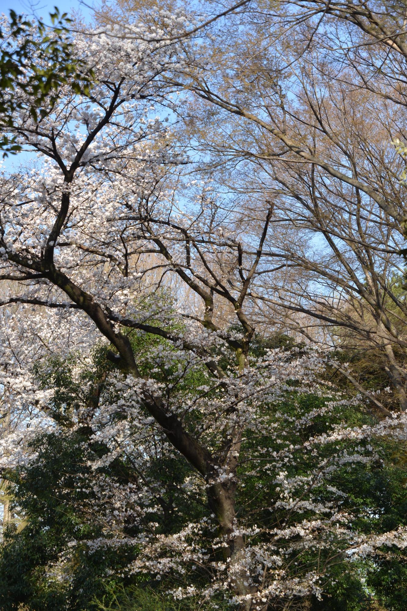 武蔵野園前の桜もこんな感じ