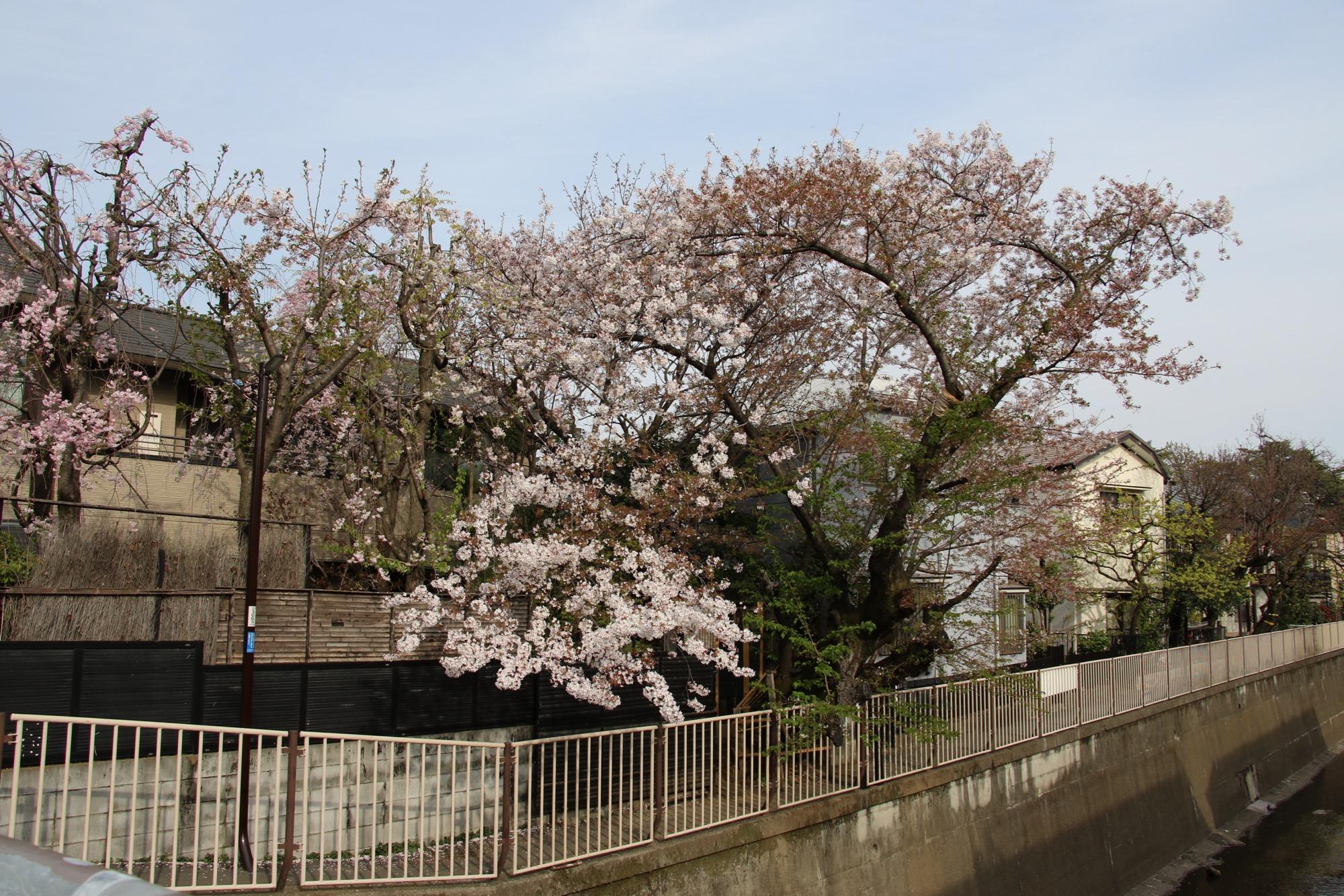 傾き桜の開花シーズンも終了