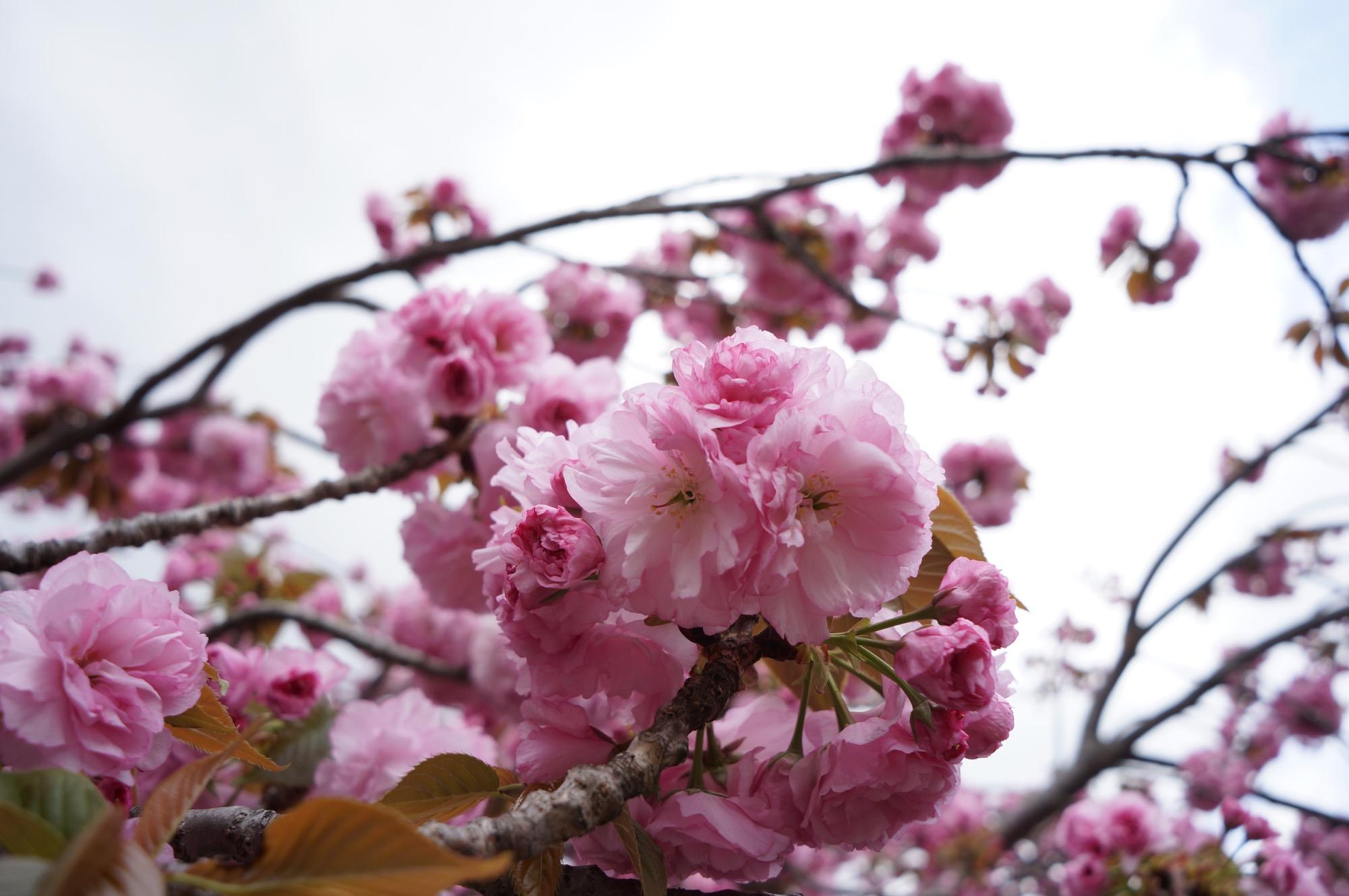 サトザクラはボンボンみたいに花がまとまる