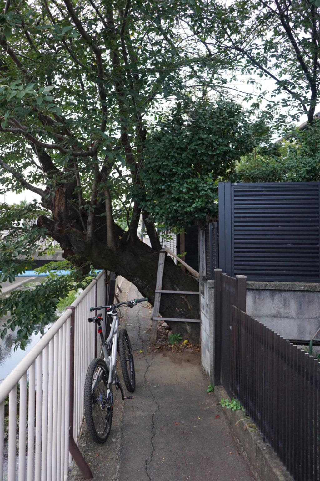 気になっていたこの桜の木は大丈夫でした