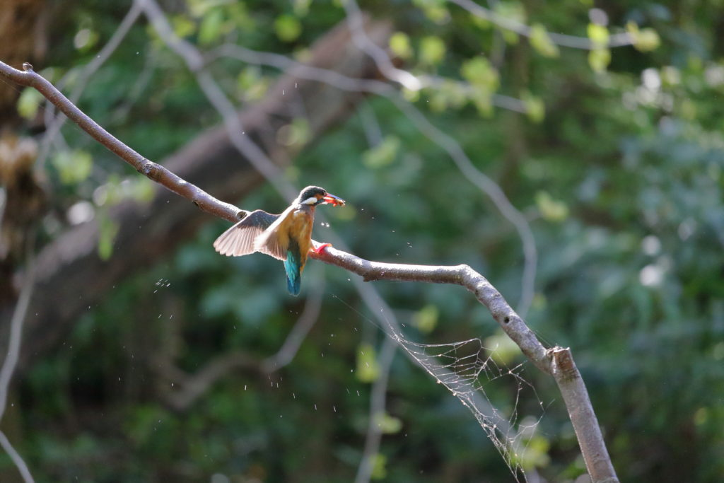 人工枝へ止まるカワセミ