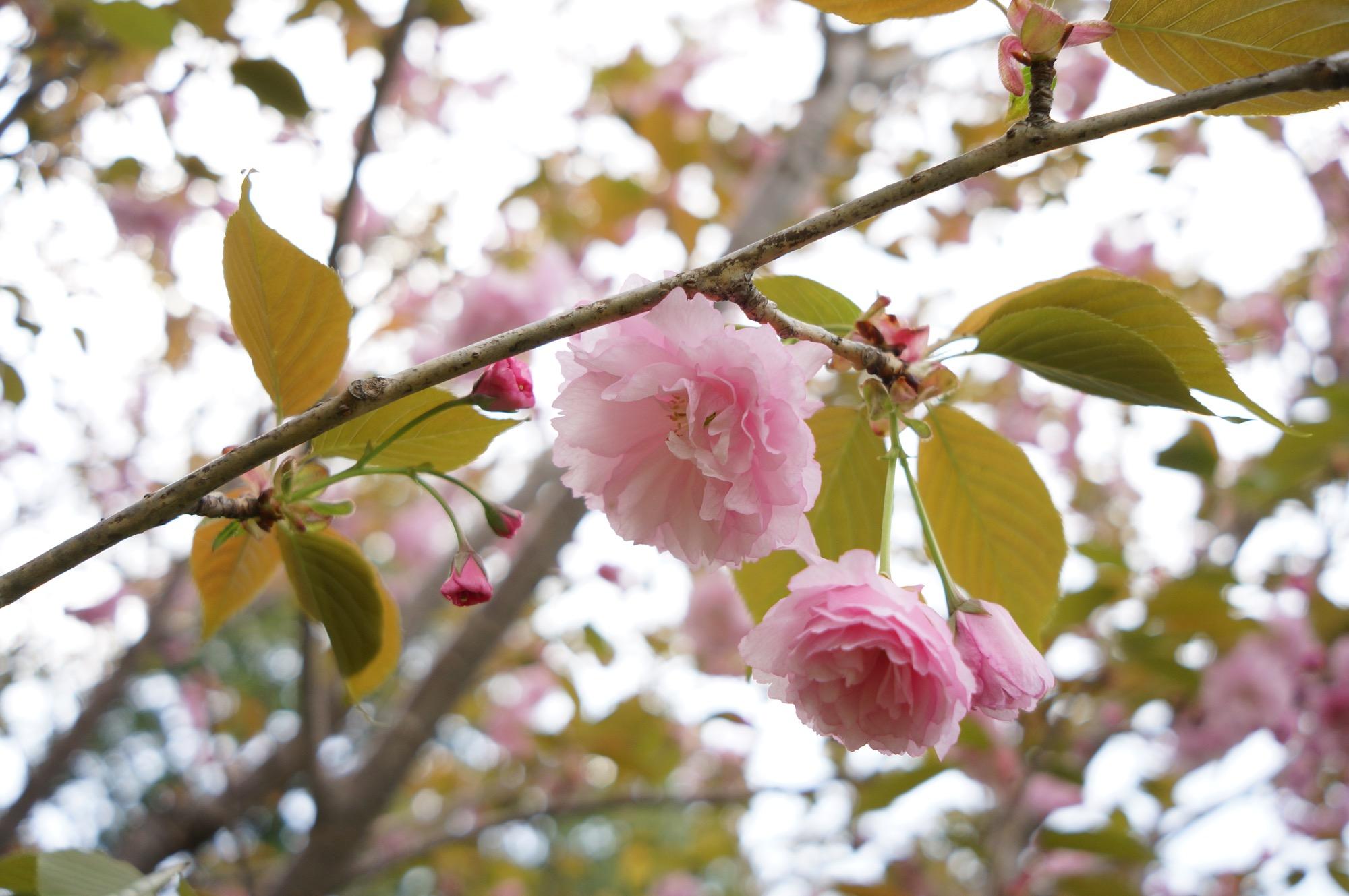 このピンクの花を付けているのは