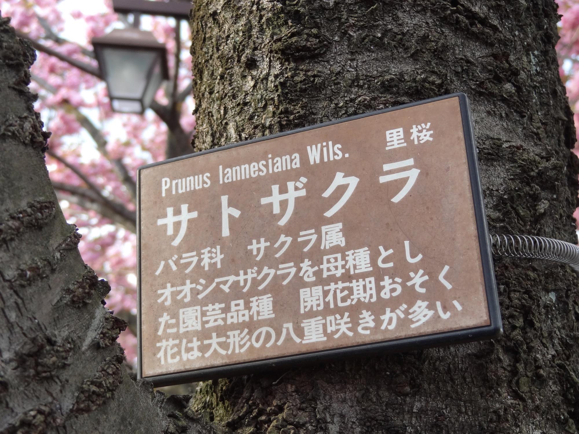 大島桜を母種とし…